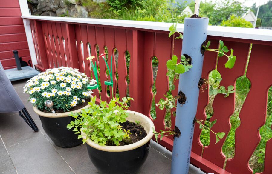 RØR: Et plastikkrør kan se litt grått ut i starten, men etter hvert som plantene vokser vil de dekke røret med ferske jordbær og grønne blader. FOTO: Simen Søvik