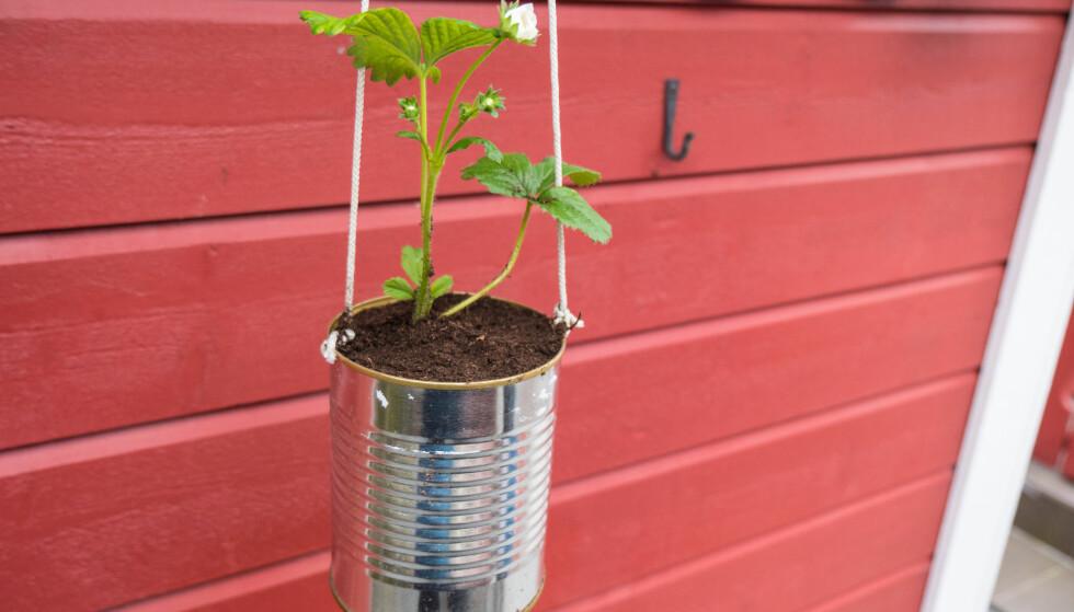 HENGEPLANTE: Jordbærene vil vokse og etter hvert bli en fin hengeplante som du kan spise rett fra. FOTO: Simen Søvik