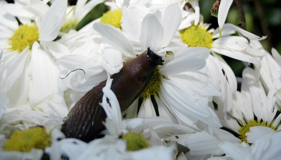 ELSKER HVITE MARGERITTER: Liker du hvite margeritter? Det gjør også brunsneglene. Kanske du heller bør gå for en av plantene de ikke liker så godt, som for eksempel roser, lavendel, rhododendron og bringebær. Foto: NTB Scanpix