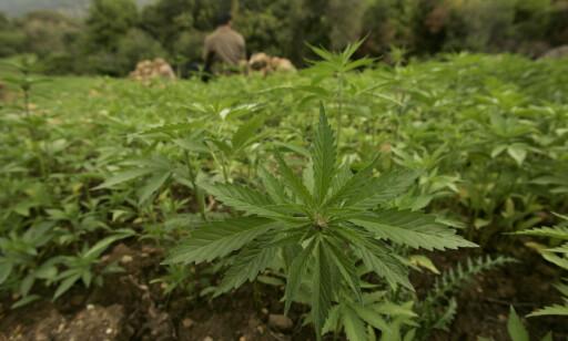 IKKE LOVLIG: Produkter som stammer fra cannabis-planten og som inneholder CBD med lave nivåer THC er ikke lovlig å ta med inn i Norge. Foto: Shutterstock.