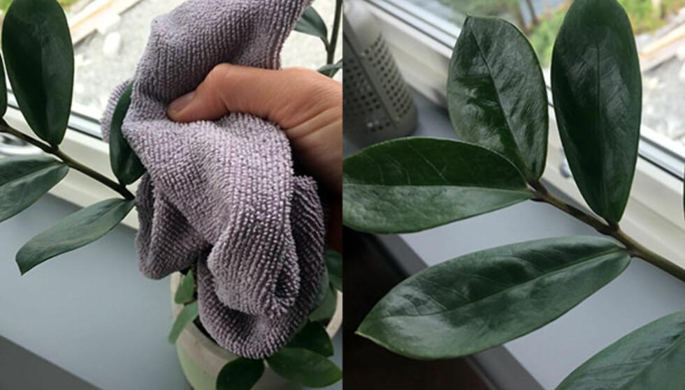 NYTT LIV: Polerer du de grønne bladene med litt balsam, vil de bli skinnende og pene igjen. Foto: Linn M. Rognø.
