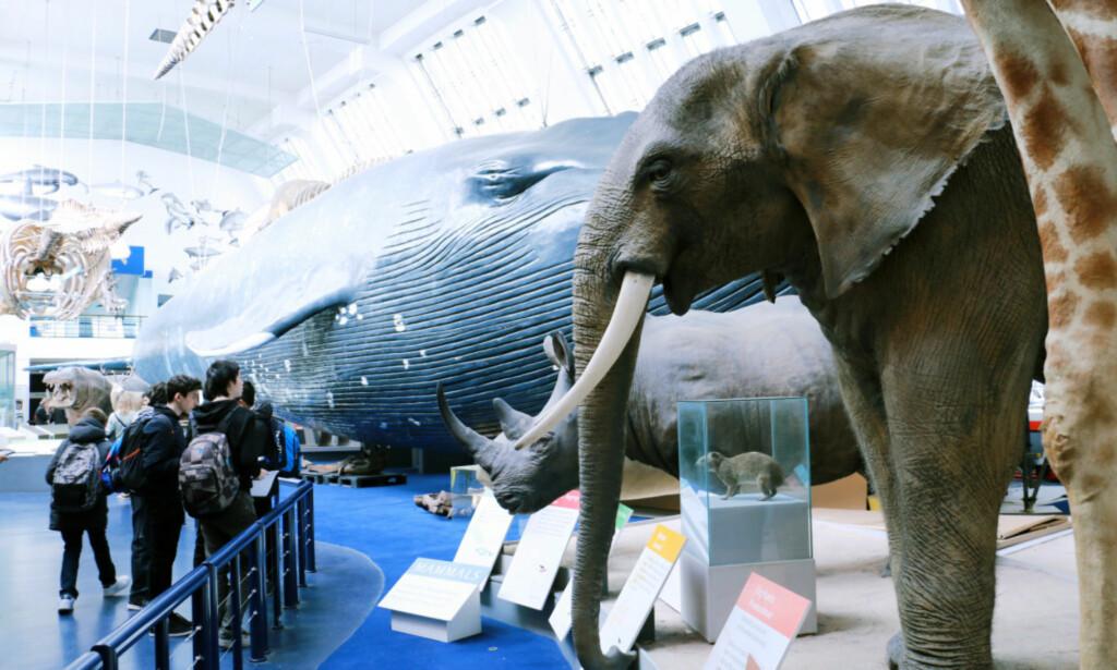 GRATIS I LONDON: Naturhistorisk museum i London er gratis for alle - året rundt. Foto: Berit B. Njarga