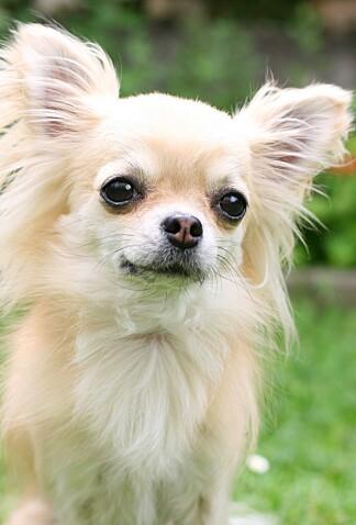 POPULÆR KOMPIS: Hvilken hunderase du velger, avhenger gjerne av hvilken alder du har. Chihuahua, som på bildet, er populære blant de yngre. Foto: Shutterstock/NTB Scanpix