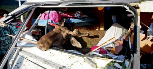 Her er det størst fare for å kjøre på ville dyr