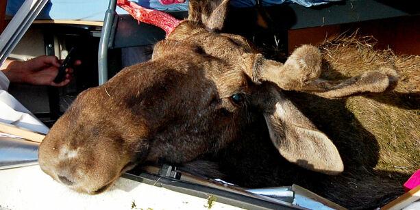 image: Her er det er størst fare for å kjøre på ville dyr