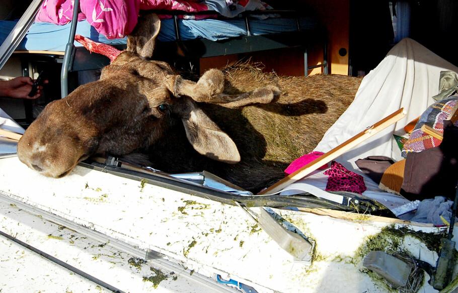 TRAFIKKDØDE DYR: En onsdag ettermiddag i 2009 ble en elg påkjørt på E136 mellom Bjorli og Åndalsnes. Kraften var så stor at elgen havnet i campingvogna til bilen foran. En yngre person ble sendt til sykehus med luftambulanse etter påkjørselen. Foto: Sture Johnsen / SCANPIX