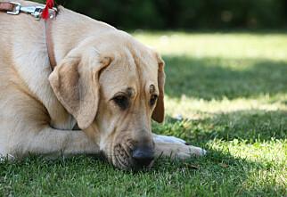 Kjøpte tvekjønnet hund – får tilbake 10.000 kroner