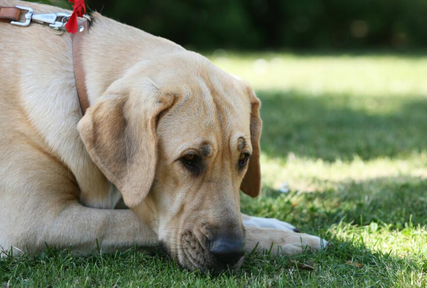 <strong>IKKE HUN, IKKE HAN:</strong> Også dyr kan bli født med ubestemmelig eller to kjønn, også kalt hermafrodittisme eller intersex. En broholmer-hund var slik, men kjøperen trodde hun hadde kjøpt en hannhund. Dermed får hun krav på erstatning. Illustrasjonsfoto: Shutterstock / NTB Scanpix