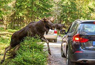 Dette må du gjøre om du kjører på et vilt dyr