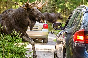 image: Dette må du gjøre om du kjører på et vilt dyr i trafikken