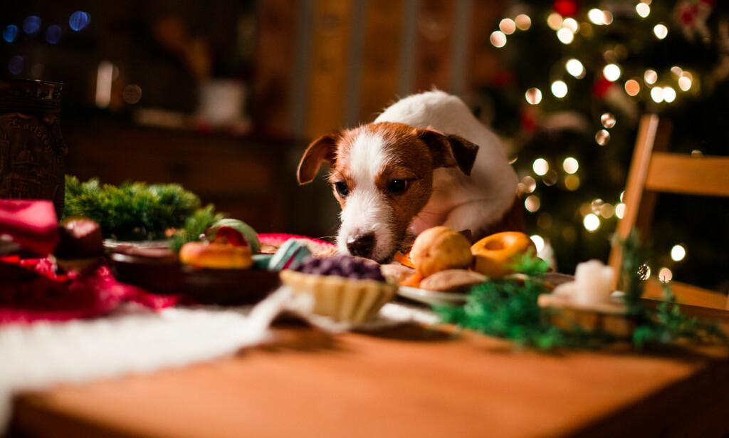 IKKE DEKK PÅ TIL HUNDEN: Rosiner, sjokolade og nøtter er giftig for flere kjæledyr, og benrester kan sette seg fast i tarmene deres og gi livstruende skader, advarer Veterinærforeningen. Foto: Shutterstock/NTB Scanpix.