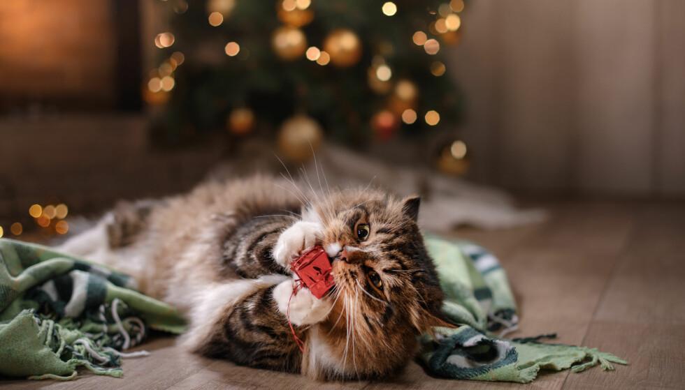 KAN GI KATTEPINE: Gavebånd i magen er en vanlig henvendelse veterinærer får fra katteeiere i julen. Pass derfor på å rydde vekk etter hvert som julegavene blir pakket opp. Foto: Shutterstock/NTB Scanpix.