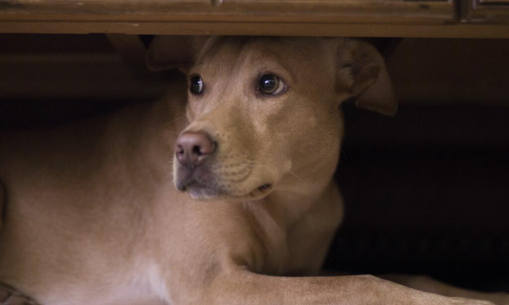 NIFS NYTTÅRSFEIRING: Mange hunder opplever rakettoppskytingen på nyttårsaften som svært skremmende. Foto: Shutterstock/NTB Scanpix.