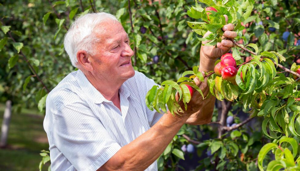 LIVETS FRUKTER: Når du blir pensjonist, høster du penger fra inntektene dine gjennom livet. Foto: Shutterstock/NTB Scanpix.
