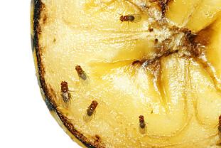 EDDIKFELLE: Bananfluer forbinder lukten av eddik med lukten av råttent kjøtt. Derfor vil en krukke med eddik være svært effektivt for å bli kvitt disse plageåndene. Foto: Sylvie Bouchard/ Shutterstock/ NTB scanpix