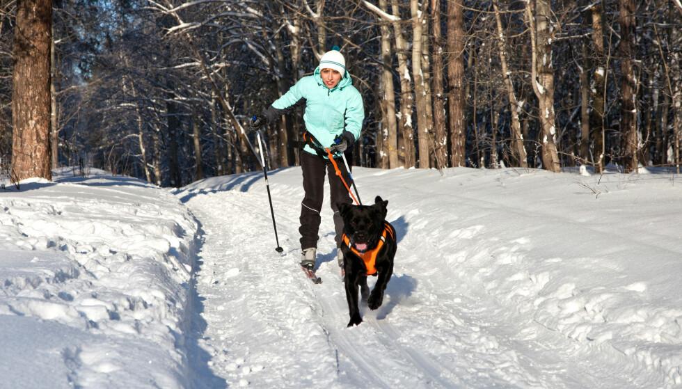 <strong>MED HUND PÅ SKI:</strong> Langt bånd muliggjør at hunden kan sperre løypa, og det er ikke bra. Bruk et kort bånd, oppfordrer løypesjef i Skiforeningen.