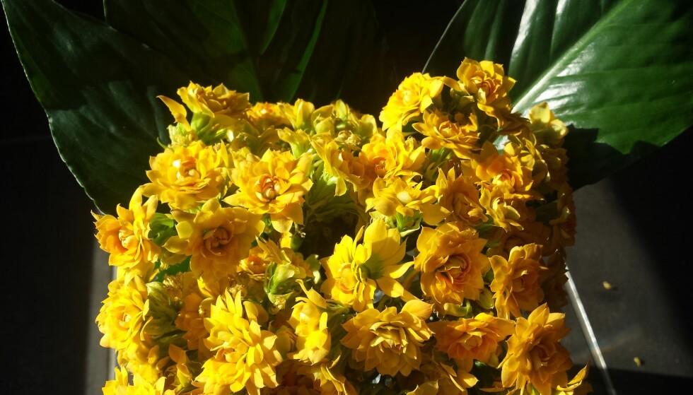 DRONNINGA: Snittildtoppen er en snittblomst som holder veldig lenge, ifølge Ladstein i Opplysningskontoret for blomster og planter (OBP). Foto: OBP