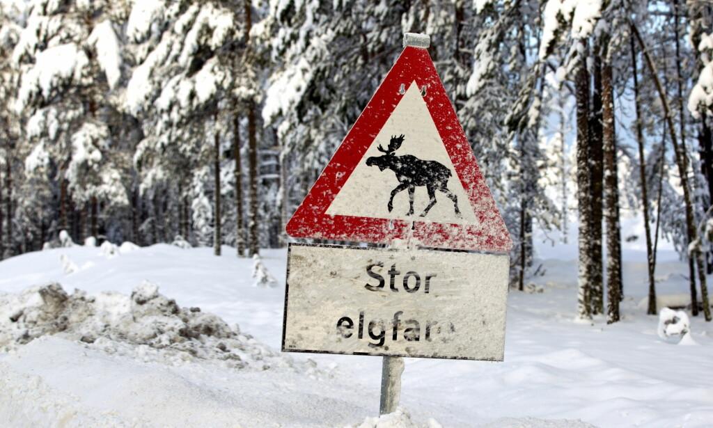 HAR LITEN EFFEKT: Nordmenn har blitt så vant til tradisjonelle elgfare-skilt, at vi i mindre grad tar hensyn til dem, mener Statens vegvesen. Foto: NTB Scanpix