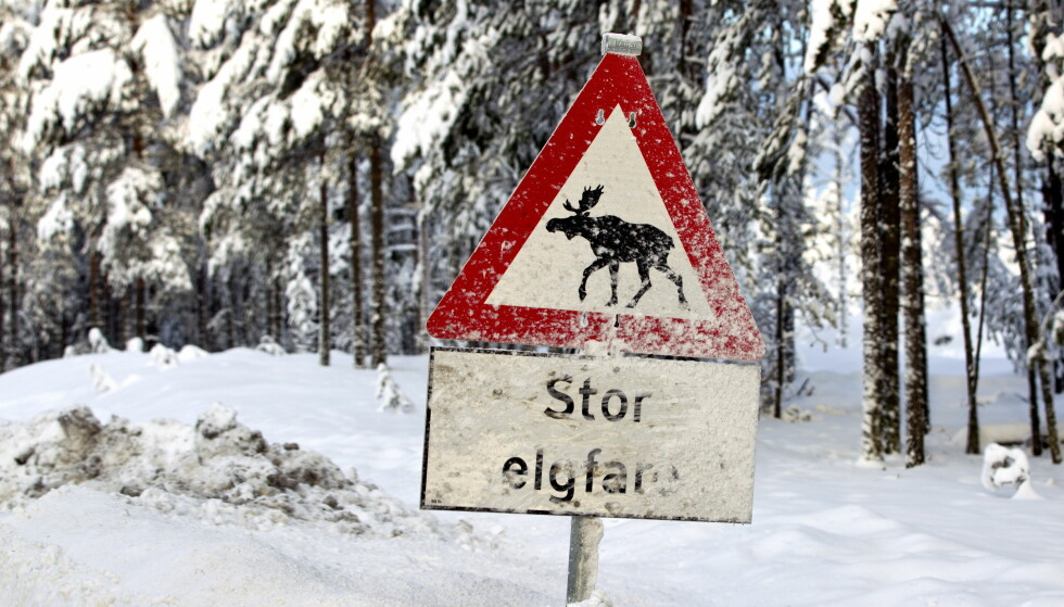 <strong>HAR LITEN EFFEKT:</strong> Nordmenn har blitt så vant til tradisjonelle elgfare-skilt, at vi i mindre grad tar hensyn til dem, mener Statens vegvesen. Foto: NTB Scanpix