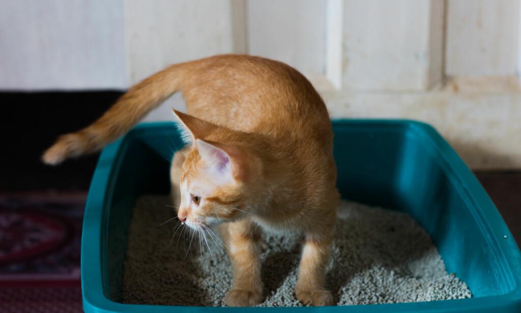 STRAM LUKT: Har katten andre steder enn kattekassen? Her er tipsene som fjerner lukten. Foto: Shutterstock