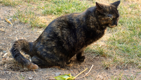 Markerer: Flere katter markerer på andre katters hus. Foto: Shutterstock
