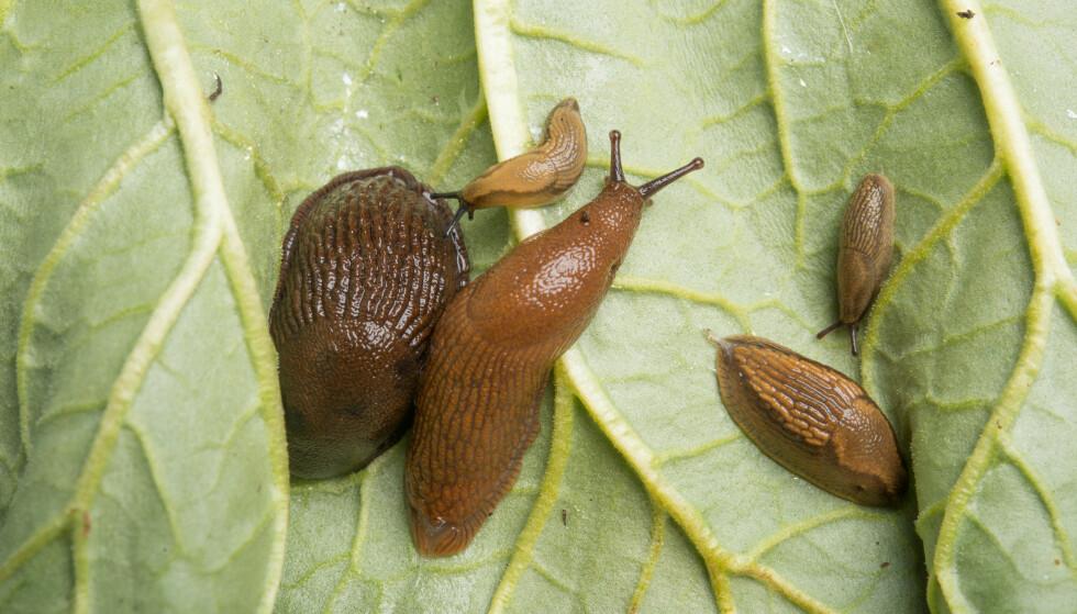 VÅKNER NÅ: Utover våren og forsommeren finner man ofte helt unge brunskogsnegler sammen med større, ensfagede brunskogsnegler. Foto: Erling Fløistad, NIBIO