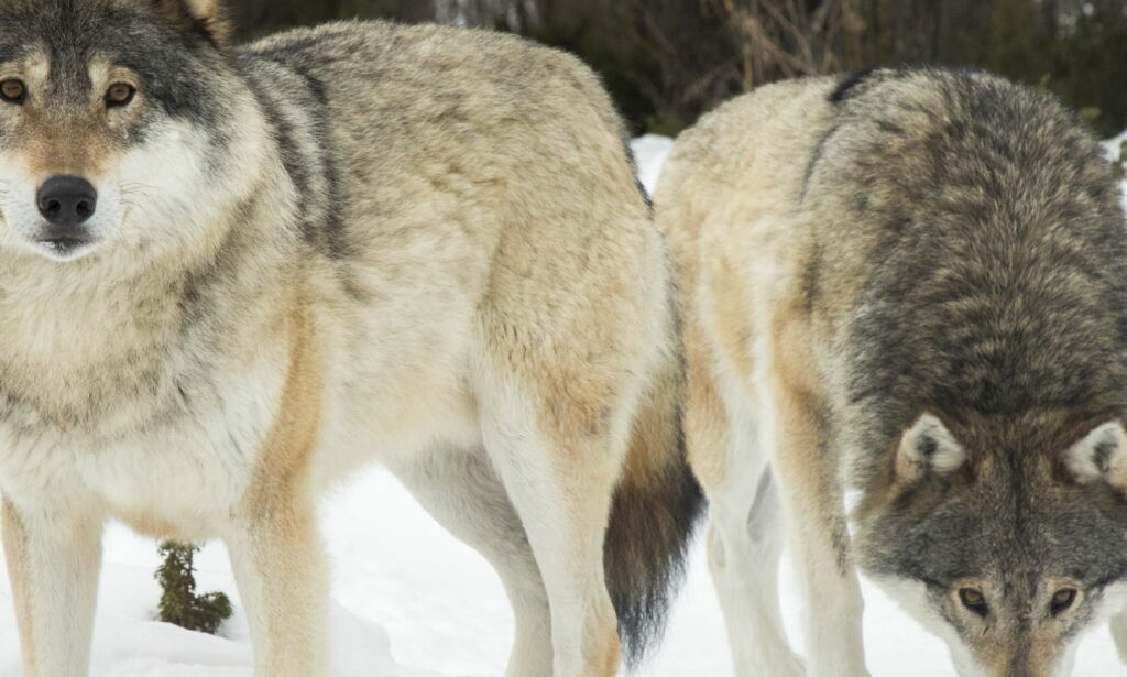 image: Rekordmange ulv felt i lisensjakta