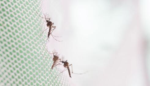 FUNGERER: Myggnett er en god måte å beskytte seg mot mygg på, sier Ottesen. Foto: Shutterstock / NTB Scanpix