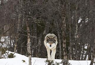 Her er sjansen størst for å møte på ulv