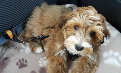 BILBELTE: Bilbelte til hund kan være et godt alternativ dersom et bur blir trangt i bilen. Foto: Mia Kristine Holt.