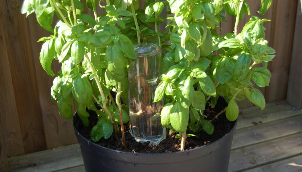 SELVVANNER: En flaske og litt tøy kan holde liv i plantene dine mens du koser deg på ferie. Foto: Christina Honningsvåg
