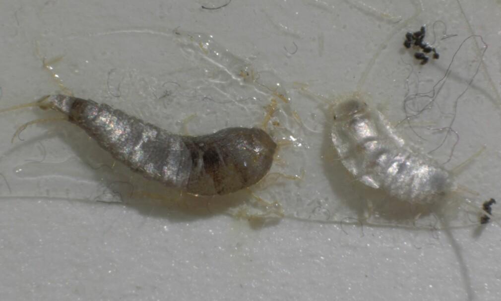 SØLVKRE OG PERLEKRE: Insektet til venstre er sølvkre, og insektet til høyre er perlekre. Førstnevnte har eksistert i Norge i flere år, sistnevnte ble oppdaget første gang i høst. Foto: Mycoteam