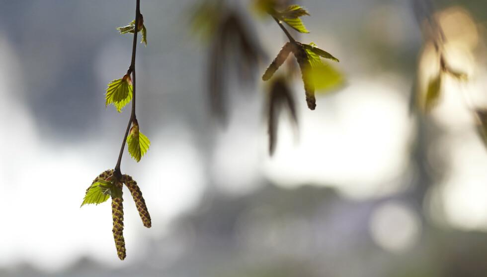 <strong>POLLENALLERGI:</strong> Årets pollensesong startet tidlig og kan bli ekstra intens, ikke minst om du reagerer på bjørkepollen. Foto: NTB Scanpix