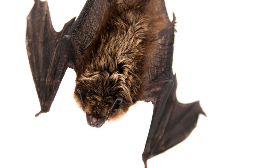 FREDET GJEST: Finner du flaggermus i boligen din, må du la dem fly ut for egen maskin. Foto: NTB Scanpix