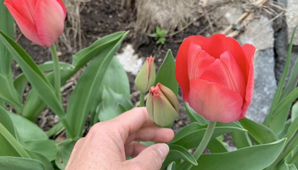 IKKE HØST DEM FOR TIDLIG: Tulipanknoppen bør ha en godt synlig farge når du høster dem. Foto: Kristin Sørdal