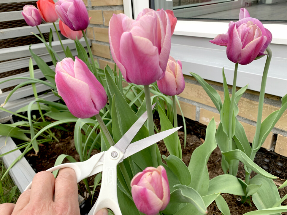 LIGG UNNA SAKSA: Skal du ta inn tulipaner eller andre løkblomster fra hagen, bør du legge igjen saksa inne. Bruk heller en skarp kniv. Foto: Kristin Sørdal