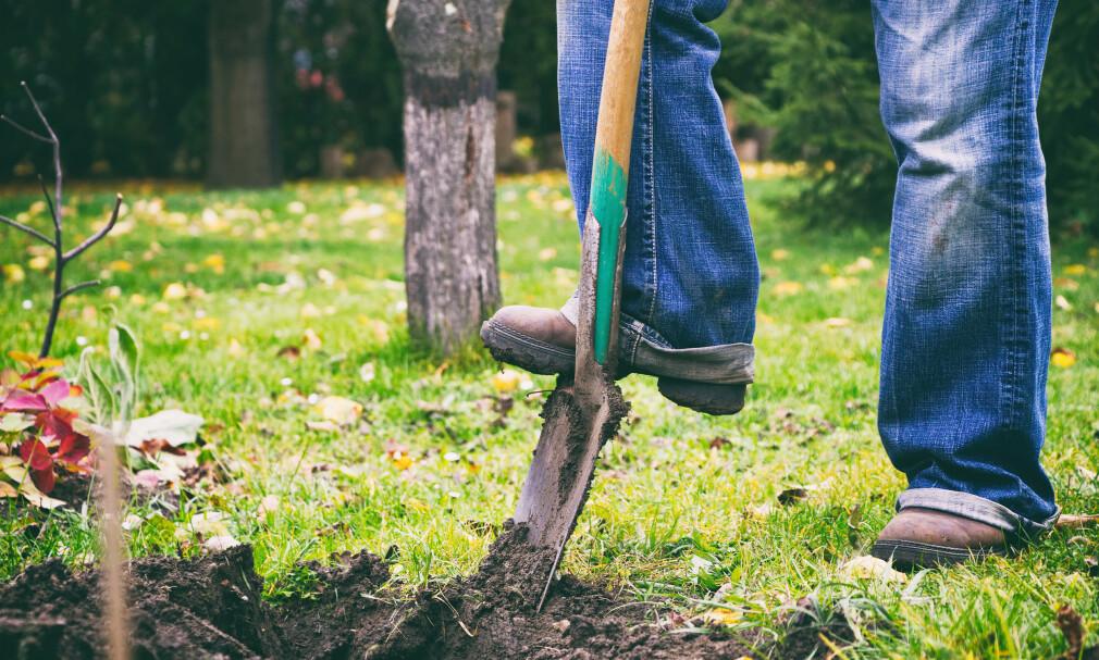 SJEKK MED SPADEN: Sliter du med å holde plenen grønn og frodig, kan du bruke spaden for å finne ut av selve årsaken til problemet. Foto: NTB Scanpix.