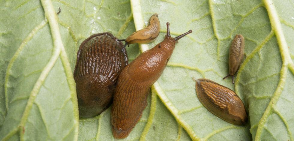 image: Slik tar du rotta på brunsneglene