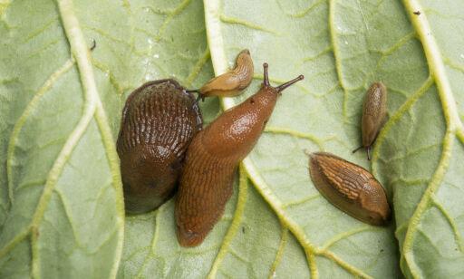 image: Sneglene i hagen kan være din skyld