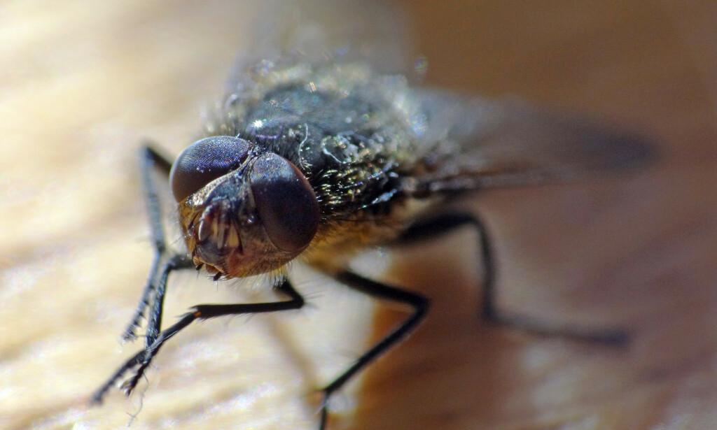 BLI KVITT DEM: Sørg for å ha det ryddig og rent rundt deg på hytte og hjem, så trives fluene mindre. Foto: Per Løchen/NTB Scanpix
