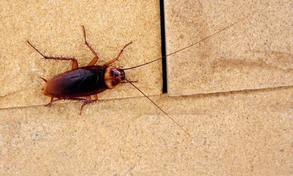 KAKERLAKKER: Dersom temperaturen øker, kan kakerlakker bli mer vanlig i Norge. Foto: SHUTTERSTOCK