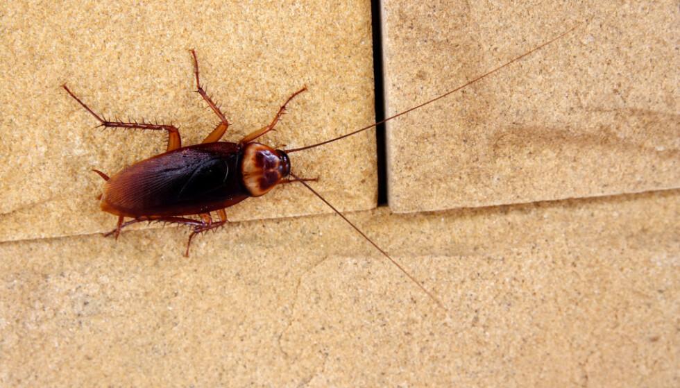 <strong>KAKERLAKKER:</strong> Dersom temperaturen øker, kan kakerlakker bli mer vanlig i Norge. Foto: SHUTTERSTOCK