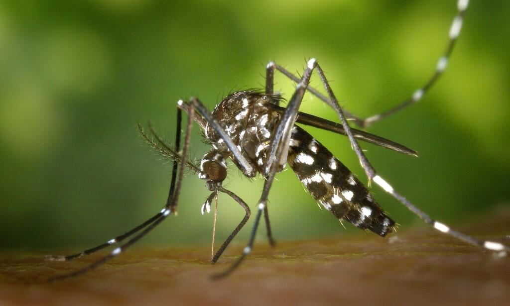 SMITTEBÆRER: Tigermyggen kan være smittebærer av mange farlige sykdommer. Foto: WikiImages