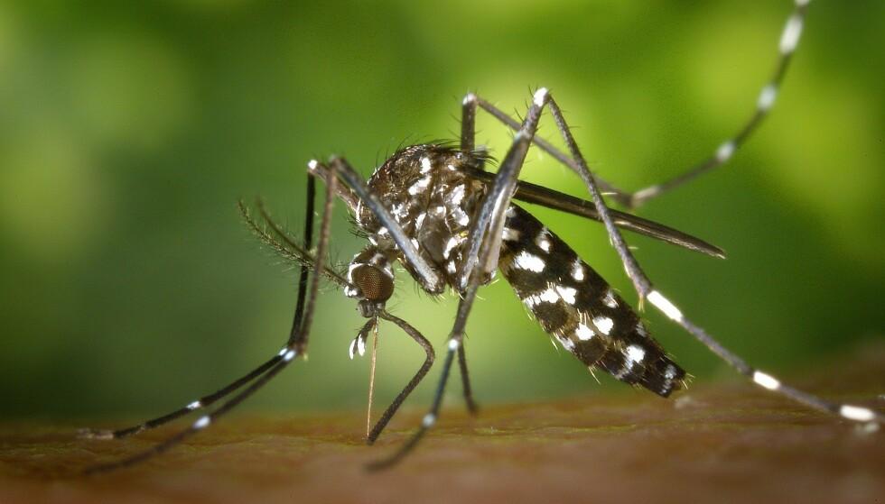 <strong>SMITTEBÆRER:</strong> Tigermyggen kan være smittebærer av mange farlige sykdommer. Foto: WikiImages
