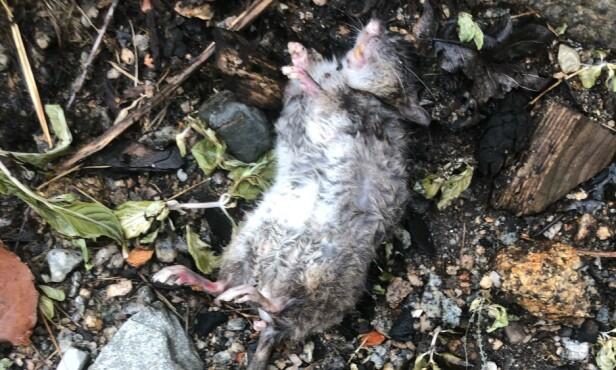 STORT PROBLEM: Lintho endte opp med å inngå et forlik med boligselgerens forsikringsselskap på grunn av det omfattende rotteproblemet, samt feil på el-anlegget i huset og heftelser forrige eier ikke hadde opplyst om. Foto: privat.