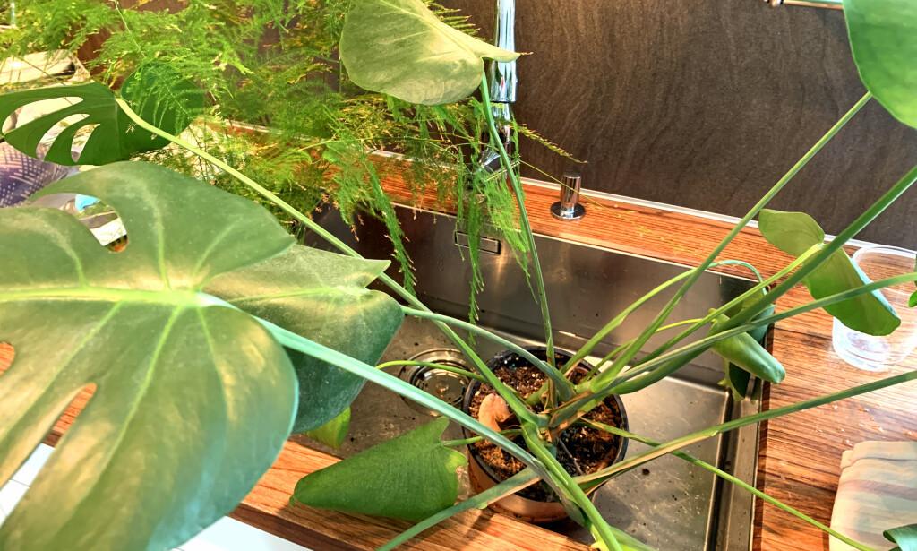 VANN UNDERFRA: Sett gjerne plantene i vasken og la de trekke vann underfra. Men pass på så de ikke står for lenge, 15 minutter er nok. Foto: Kristin Sørdal