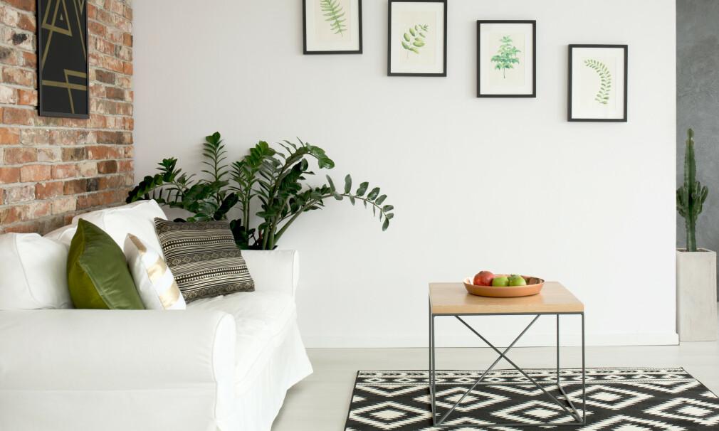«FORGLEM MEG, VÆR SÅ GREI»: Zamioculcas, eller smaragdpalme som er et enklere navn på den grønne planten i hjørnet, er en skikkelig tøffing. Den tåler nemlig sol, skygge og tørke, så den kan du fint ta med deg hjem fra gartneriet og bare glemme. Foto: Shutterstock/NTB Scanpix.