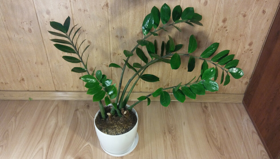 LIKER SEG I SKAMMEKROKEN: Smaragdpalmen liker verken mye lys eller vann, altså en perfekt plante for deg som ikke har grønne fingre. Foto: Shutterstock/NTB Scanpix.