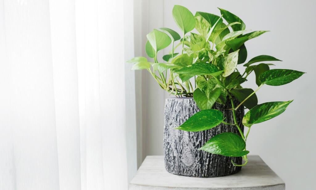 RIMELIG: Gullranke er en klassisk, grønn plante i norske hjem. Foto: Shutterstock/NTB Scanpix.