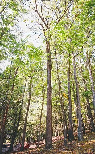 HER BOR SYNDEREN: Ifølge Chris er det i disse trærne ekornet holder til. Foto: Privat